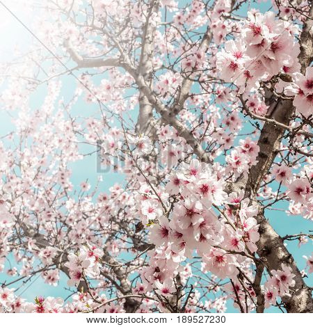 A square photo of almond trees in bloom in the Retiro park in Madrid, Spain, in the sunlight. Selective focus