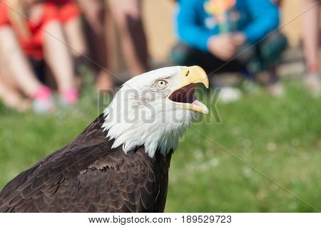 Portrait of bald eagle (Haliaeetus leucocephalus); Shallow DOF
