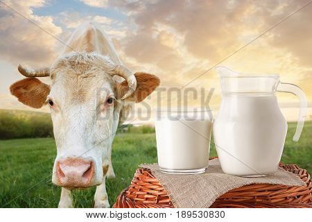 milk in jug and glass on wicker basket with cow on the meadow in the background. Glass of milk. Closeup of cow muzzle look at the camera. Photo with copy space