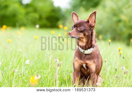 Small brown toy-terrier sitting in summer green park. Multicolored outdoors image.