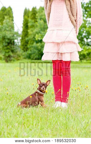 Small brown toy-terrier near young girl owner legs in summer green park. Multicolored outdoors image.
