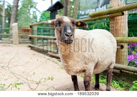 Thoroughbred Suffolk sheep standing in fold. Front view. Horizontal summertime outdoors image.