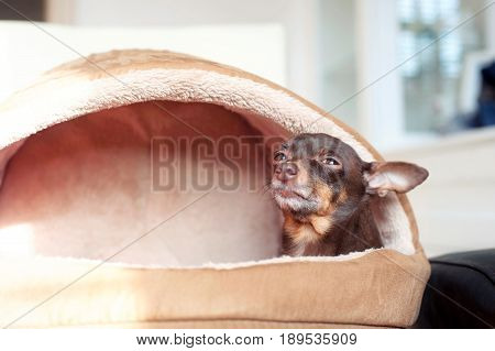 Small lazy toy-terrier dog in it's pet house. Indoors.