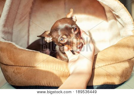 Friendship trusting devotion. Little toy-terrier dog licking young owner's hand. Multicolored vibrant indoors filtered image