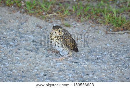 Young bird thrush singing southern Bohemia czech republic