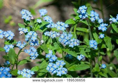 Forget me Not flowers in garden close-up