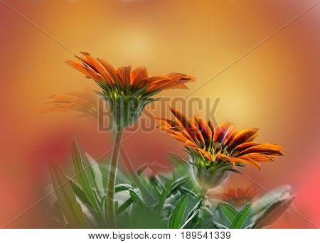 Flowers plants gazania gentle blur background, selective focus