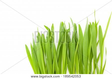 Young barley grass isolated on white background.