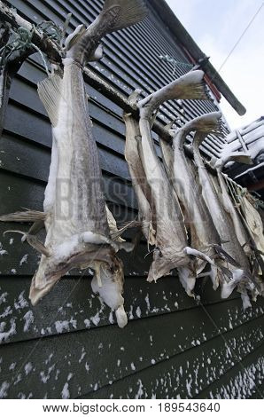 Stockfish Hanging To Dry In A Little Harbor Village Norway