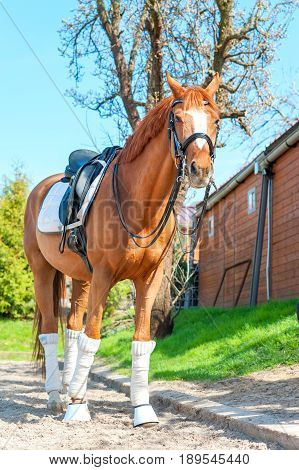 Purebred chestnut stallion in bandages standing and waiting on pasturage. Multicolored summertime exterior image.