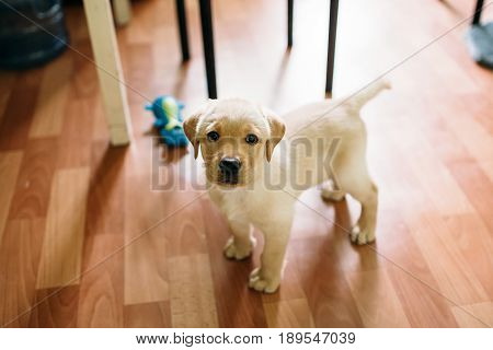 A puppy of a Labrador retriever and a golden retriever plays at home. Concept dog in the apartment.