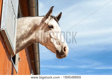 Portrait of thoroughbred gray horse in stable window on a blue sky background. Multicolored summertime outdoors image with filter.