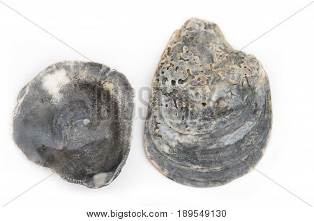 Black Oyster Shell