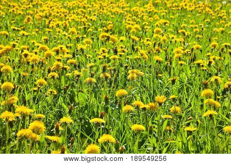 Dandelion meadow with yellow flowers and green grass. Background