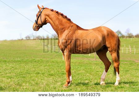 Purebred braided red stallion standing on pasturage. Exterior image with side view. Summertime horizontal outdoors image.