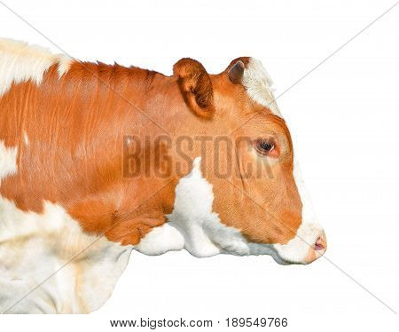Beautiful young red and white spotted cow isolated on white. Portrait of funny red cow  isolated on white close up. Farm animals.
