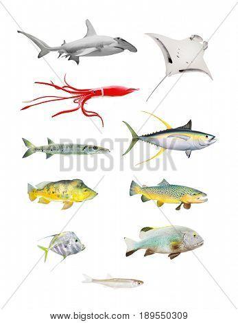 Sea life great set. Hammerhead shark, Manta Ray, Squid, Barracuda, Yellow Fin Tuna, Bass Fish, Salmon, Grouper and Sardine isolated on white background.