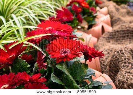 row of flowering red gerberas with pots