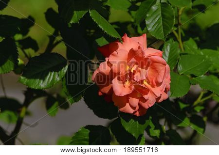 Among the leaves and branches of a pink rose flower on a sunny day.