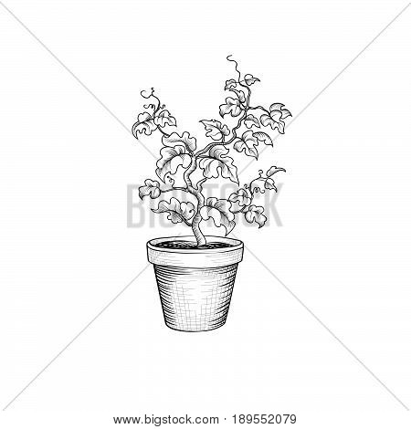 Floral pot. Decorative bonsai isolated. Plant with leaves engraving. Decorative grape tree. Plant bloom growth.