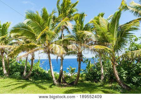 Coconut palm trees in tropical Niue fronds blurred by movement in breeze.