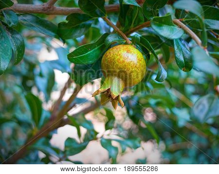 View on young offspring pomegranate fruit and on pomegranate tree green leafs in the Greek hotel restaurant patio garden. Green pomegranate fruit. Small young verdant pomegranate tree garden