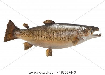 A big brown trout isolated on a white background