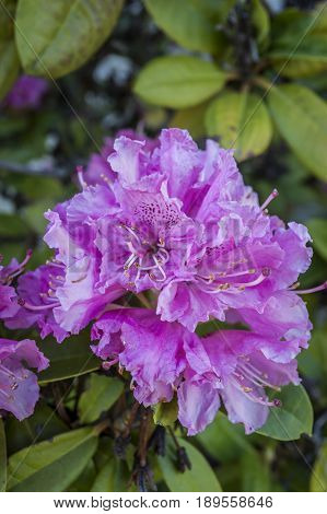 A close up image of a beautiful pink rhododendron.