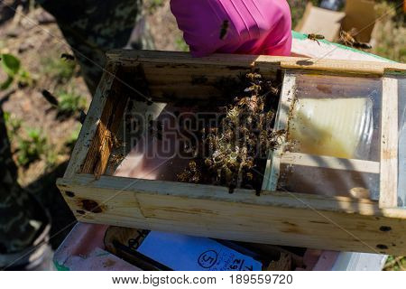 Beekeeper holding a small Nucleus with a young queen bee. Breeding of queen bees. Beeholes with honeycombs. Preparation for artificial insemination of queen bees. Boxes for queen bees. Preparing for artificially fertilized bees. Natural economy. Queen Bee