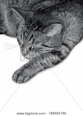 Motley cat sleeps front paw stretched. Black and white photo