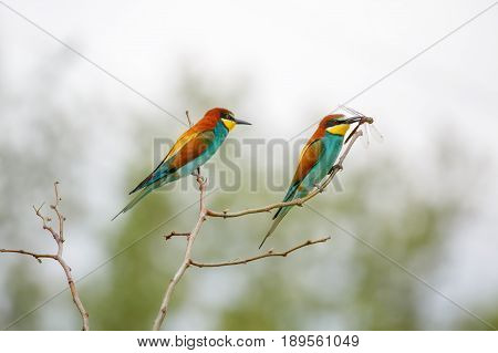 Bee-eaters on a branch. Bee-eater with a dragonfly in beak. Love ritual