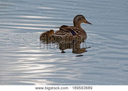 A Mallard Duck swims with two ducklings. These ducks can be found in both rural and urban areas.