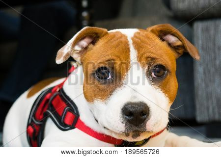 This amstaff puppy looks happy looking in camera