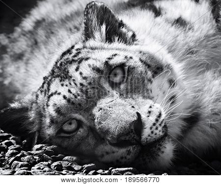 Snow leopard irbis black and white ( panthera uncia uncia uncia. Leopard lying on the stones.