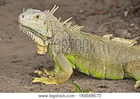 A common green iguana (species: igauna iguana) takes a moment to rest while crawling on a dirt path.