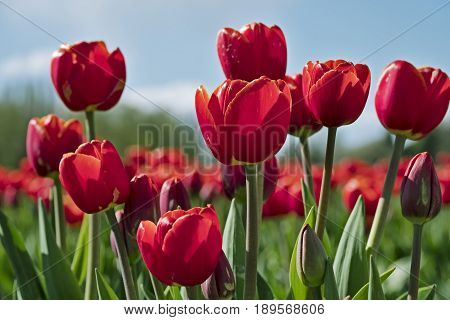 A group of red tulips highlighted against a blue sky during the annual springtime Skagit Valley tulip festival in Washington State.