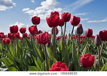 A field of red tulips bloom on a sunny day during the annual Skagit Valley tulip festival in Washington State.