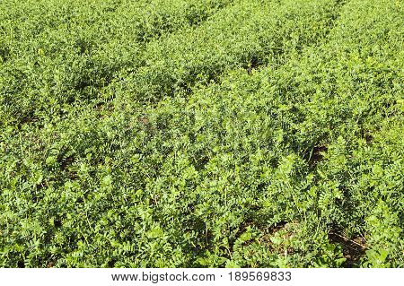 Chickpeas cultivated fields, natural and organic green chickpeas field