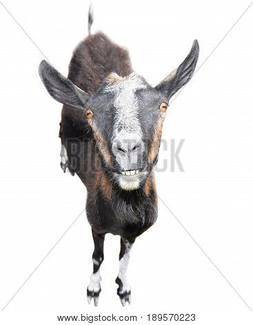 Brown goat isolated on white background. Goat with a funny muzzle and big teeth looking at the camera. Farm animals. Goat isolated full length close up.