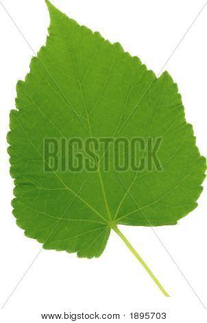 Cutout Light Linden Leaf