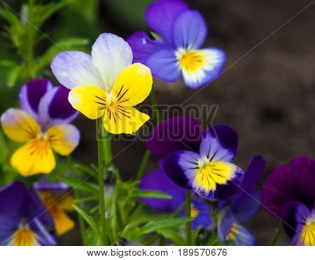 Violet Pansy Flower, Close-up Of Viola Tricolor In The Spring Garden