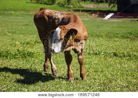 milk cows on summer pasture