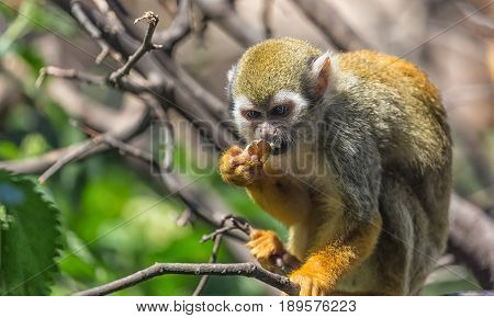 Close up portrait of squirrel monkey Saimiri sciureus sitting and eating on a tree branch.