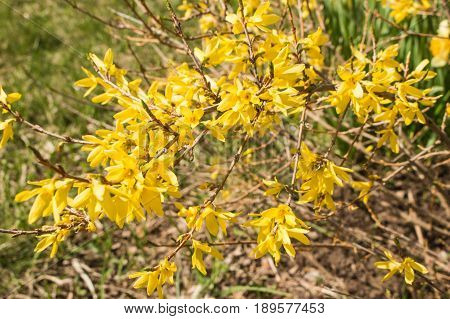 Yellow Forcing Flowers Forsythia Europaea In The Spring On A Blurred Green Background Macro.