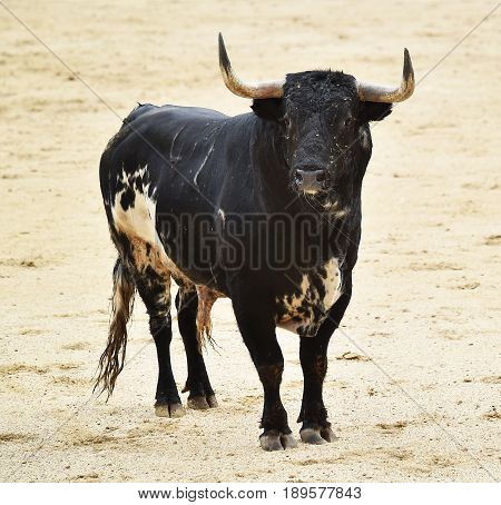 spanish bull in bullring with big antlers