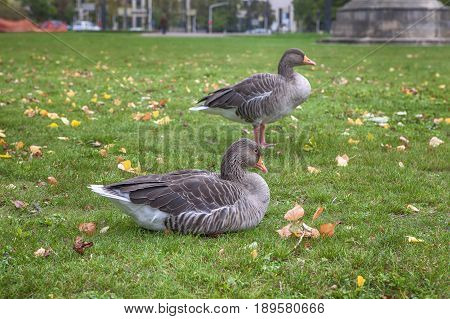 two grey geese standing on the lawn in the urban park