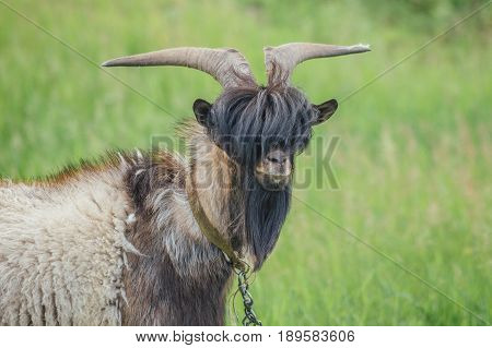 Portrait of stylish goat with bang and beard on background of green meadow. Could be used as livejournal Goat Frank concept