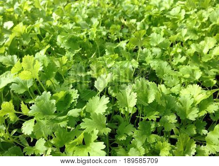 Green coriander cilantro herb growing commercially in a horticulture business
