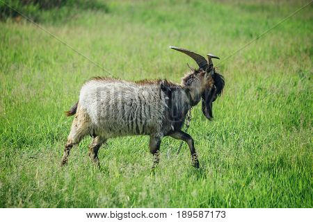 Stylish goat with bang and beard on background of green meadow. Could be used as livejournal Goat Frank concept