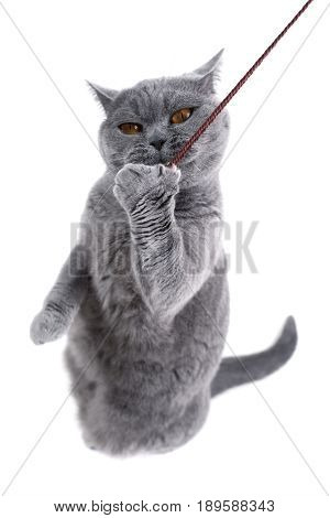 British gray cat playing with a thread on a white background.